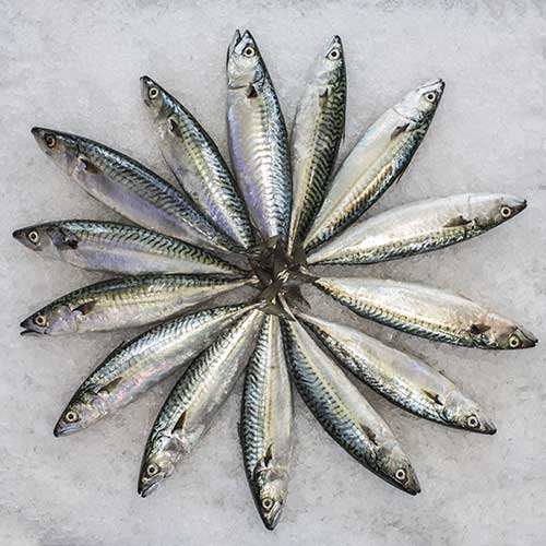 Uskumru Balığı